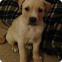 Adopt A Pet :: Pooh Bear - Reno, NV