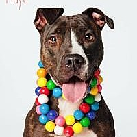 Adopt A Pet :: Maya - Houston, TX