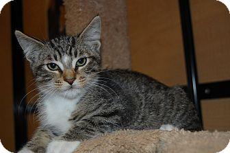 Domestic Shorthair Kitten for adoption in Whittier, California - Benny