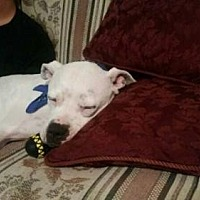 Pit Bull Terrier Dog for adoption in Pittsburgh, Pennsylvania - Howie