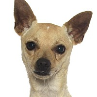 Chihuahua Dog for adoption in Fort Lauderdale, Florida - TACO