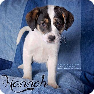 Australian Shepherd/Beagle Mix Puppy for adoption in Cincinnati, Ohio - Hannah