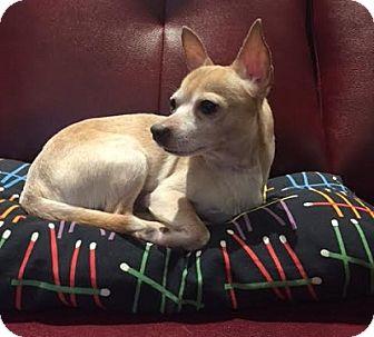 Chihuahua Dog for adoption in Hamilton, Ontario - Frankie