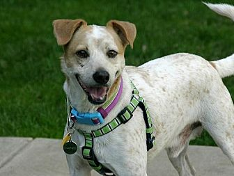 Jack Russell Terrier/Pointer Mix Dog for adoption in Dallas, Texas - Chewbacca (Chewy)