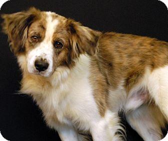 Australian Shepherd Mix Dog for adoption in Newland, North Carolina - Dillon