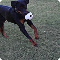Adopt A Pet :: CARUSO - Gilbert, AZ