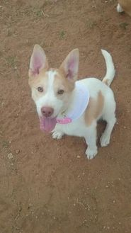 Retriever (Unknown Type) Mix Dog for adoption in Las Cruces, New Mexico - Beauty