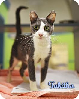 Domestic Shorthair Cat for adoption in Gulfport, Mississippi - Tabitha