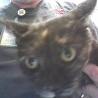 Domestic Shorthair/Domestic Shorthair Mix Cat for adoption in Farmington, New Mexico - Ethel