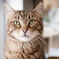 Adopt A Pet :: Nicholas - Palm Springs, CA