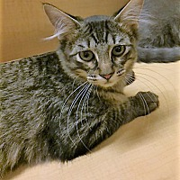 Adopt A Pet :: Tazzie - Warrenton, MO