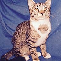 Adopt A Pet :: Mittens - Colorado Springs, CO