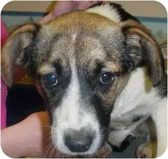 Jack Russell Terrier/Beagle Mix Dog for adoption in New Boston, New Hampshire - Bandita