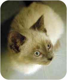 Domestic Shorthair Kitten for adoption in Walker, Michigan - MoJo
