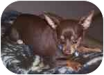 Chihuahua Dog for adoption in Plainfield, Illinois - Chip