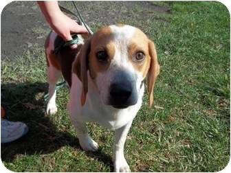 Beagle Mix Dog for adoption in Lapeer, Michigan - Spot-VERY URGENT!