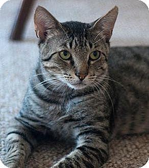 Domestic Shorthair Cat for adoption in New York, New York - Juni