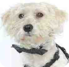 Maltese/Poodle (Miniature) Mix Dog for adoption in Orlando, Florida - Snowy
