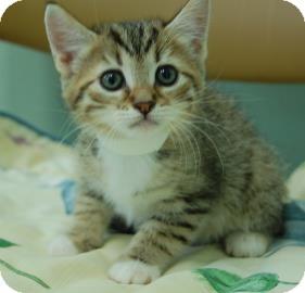 Domestic Shorthair Kitten for adoption in Bradenton, Florida - Rosie