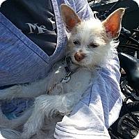 Adopt A Pet :: Batman - Santa Monica, CA