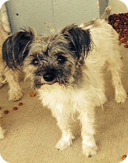"Maltese/Poodle (Miniature) Mix Dog for adoption in Oswego, Illinois - The Sweeties ""Cupcake"""