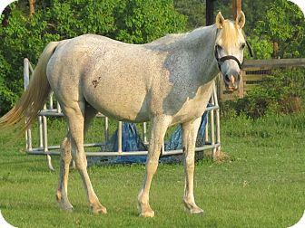 Arabian for adoption in Cantonment, Florida - Raven