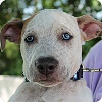 Adopt A Pet :: Oreo - Mount Juliet, TN