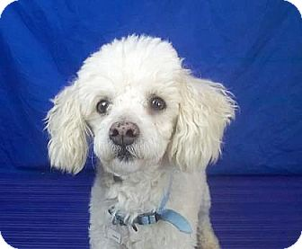 Poodle (Miniature) Mix Dog for adoption in Spokane, Washington - Pierce