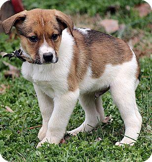 Australian Shepherd Mix Puppy for adoption in Spring Valley, New York - Dylan