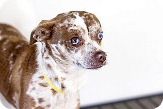 Chihuahua/Shepherd (Unknown Type) Mix Dog for adoption in Berkeley, California - Winky