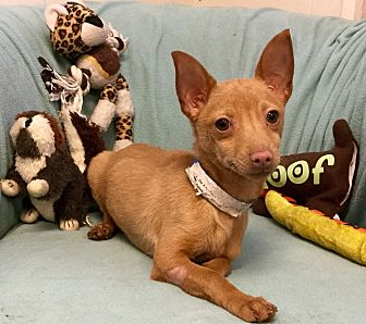 Chihuahua Puppy for adoption in Phoenix, Arizona - Sassafras
