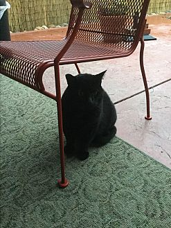 Domestic Shorthair Cat for adoption in Modesto, California - Blackie Bear