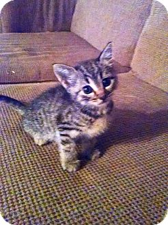 Domestic Shorthair Kitten for adoption in Marion, North Carolina - Ash