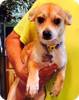Chihuahua Mix Dog for adoption in Beavercreek, Ohio - Ben