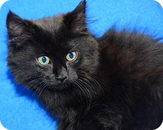 Norwegian Forest Cat Kitten for adoption in Buford, Georgia - Rascal