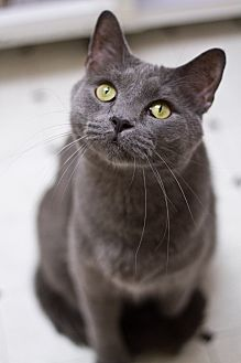 Domestic Shorthair Cat for adoption in Grayslake, Illinois - Hamilton