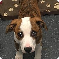 Adopt A Pet :: Winnie - Rigaud, QC