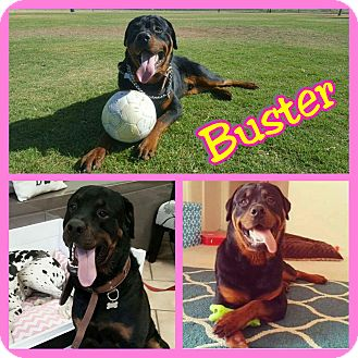 Rottweiler Dog for adoption in Mesa, Arizona - Buster
