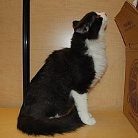 Adopt A Pet :: Indie - Whittier, CA