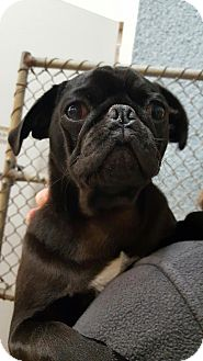 Pug Dog for adoption in Great Falls, Virginia - Dude