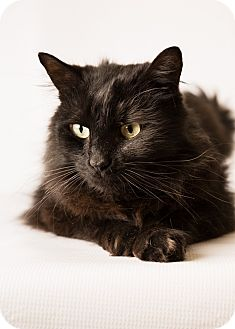 Domestic Mediumhair Cat for adoption in Hendersonville, North Carolina - Sparks