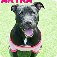 Adopt A Pet :: Akyra - Tower City, PA