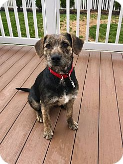 Airedale Terrier Mix Dog for adoption in New Oxford, Pennsylvania - Holly