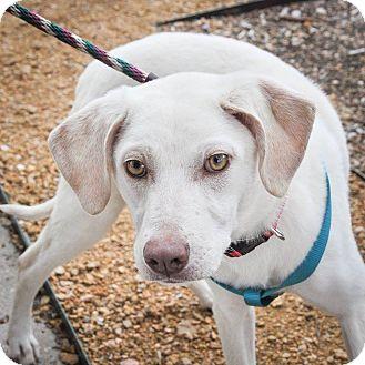 Labrador Retriever Mix Dog for adoption in Plano, Texas - Diamond