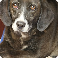 Adopt A Pet :: Brownie Wilson - Cranston, RI