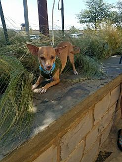 Chihuahua Mix Dog for adoption in Toronto, Ontario - Charlie