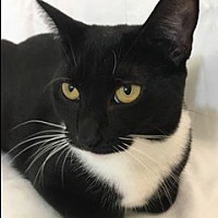 Adopt A Pet :: Coil the Adorable Tuxedo Cat - Brooklyn, NY