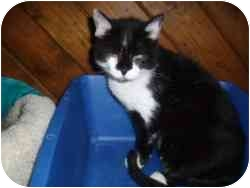 Domestic Shorthair Cat for adoption in Hamburg, New York - Uni