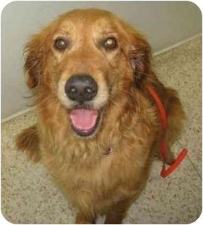 Golden Retriever Dog for adoption in Houston, Texas - Tillie