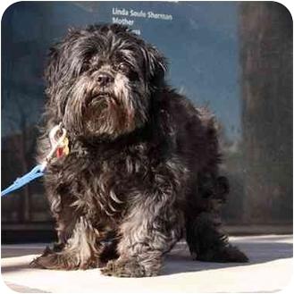 Shih Tzu Dog for adoption in Denver, Colorado - Brendan